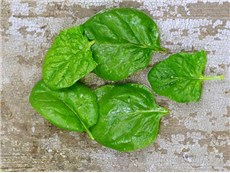 Monstrueux de Viroflay Spinach