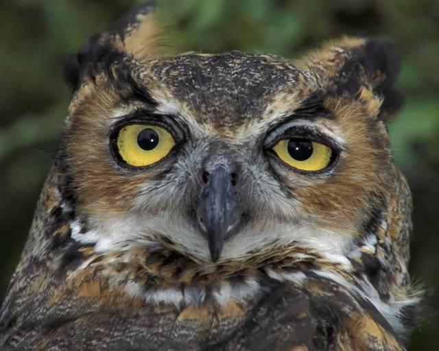 Great Horned Owl www.audubon.org